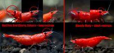 Bloody Mary - Neocaridina davidi var. bloody mary sakura :: Garnelen Krebs & Co
