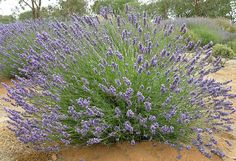 Riverina Thomas French Lavender - Reaches 2-3 ft. tall and wide.; blooms summer with repeat in fall; aromatic foliage; full sun; evergreen