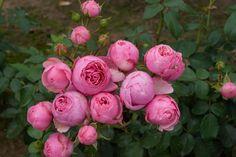 pomponella rose - Google Search