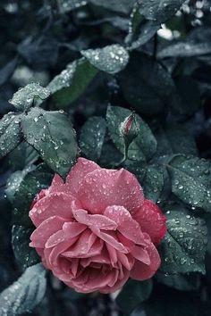 Raindrops and Roses Beautiful Flowers Wallpapers, Beautiful Roses, Flower Wallpaper, Nature Wallpaper, Photo Ange, Raindrops And Roses, Aesthetic Roses, Rosa Rose, Jolie Photo