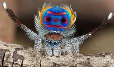 Frighteningly Beautiful Shots of Australian Peacock Spider by Jurgen Otto