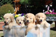 【もっふもふ♡】赤ちゃん時代はぬいぐるみみたい~!なゴールデンレトリバーの子犬7選!   mofmo