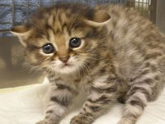 An African Black-footed Cat kitten was born February 6, 2012, to an ordinary domestic cat, becoming the first of its kind to be born from inter-species embryo transfer. Via ZooBorns