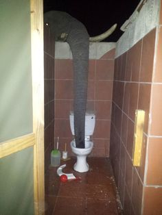 Thirsty Elephant Sticks Her Trunk Over the Bathroom Wall to Get a Cool Drink of Water From a Toilet