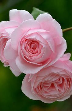 Lovely color of roses. Beautiful Flowers Images, Flower Images, Flower Photos, Beautiful Roses, Pretty Flowers, Beautiful Gardens, Purple Roses, Pink Flowers, Hybrid Tea Roses