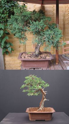 Chinese Juniper bonsai after restyling and rewired.