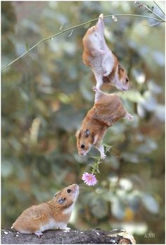 Dangling hamster gives flower