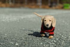 Dach puppy with sweater walking.