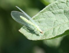scientific drawing: Green-Lacewing | Nature | Farmer ...