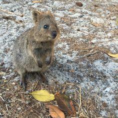 cuteness alert!  #quokka #rottnestisland #lovemyrotto #perth #perthisok #westernaustralia #wa #thisiswa #australia #australiagram #cute #picoftheday #nofilter #animalpicoftheday by silkeh2108 http://ift.tt/1L5GqLp