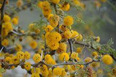 Flor de Espinillo
