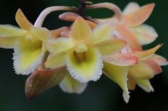 Orchid: Dendrobium lampongense - Flickr - Photo Sharing!