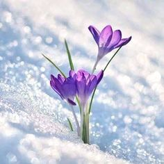 First Sign Of Spring by Perry Wunderlich - Crocus flowers peaking through the snow on a sunny spring day - ? Spring Sign, Spring Day, Early Spring, Amazing Flowers, Pretty Flowers, Spring Flowers, Wild Flowers, Arte Floral, Colorful Garden