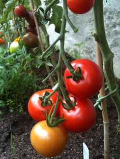 red tomatoes 2012