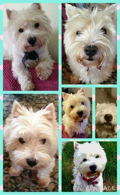 Westie collage