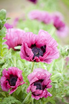 Papaver orientale 'Plum Pudding' - Stout stems are topped with rounded green buds, which open to large, raspberry-pink flowers that are well suited to planting schemes with a 'bruised' colour theme. Although relatively short-lived, the flowers are also very attractive in cut arrangements.