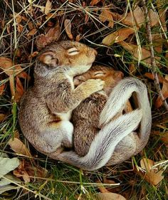 Squirrels spooning amongst fallen leaves
