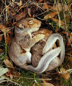 Squirrels spooning amongst fallen leaves