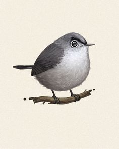 Fat Bird #6: Blue-grey Gnatcatcher.  Suggested by Mark Hoppus, and yes, the bird has Eugene Levy eyebrows.
