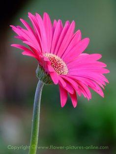 gerbera daisy :)