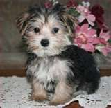 Image detail for -this is a morkie...part maltese part yorkie.....now i think she is ...