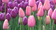 These tulips remind me of little girls in Easter dresses.