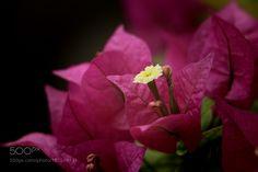 Bougainvillea by Misty__Rain. @go4fotos