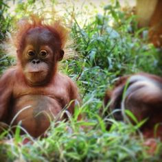 Homo diluvii testis — He's entering into that critically cute stage of. Cute Baby Animals, Animals And Pets, Funny Animals, Funny Pets, Monkey Girl, Cute Monkey, Save The Orangutans, Baby Orangutan, Australian Animals