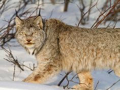 Lynx Picture – Animal Photo - National Geographic Photo of the Day The Animals, My Animal, Wild Animals, Lynx Du Canada, Beautiful Creatures, Animals Beautiful, Mundo Animal, All Gods Creatures, National Geographic Photos