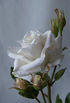 Gallery.ru / Фото #100 - розы, розы, розы... - letoeto