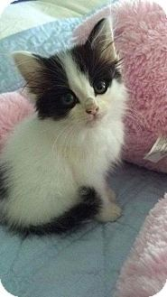 Fenton, MO - Domestic Mediumhair. Meet Joy, a kitten for adoption. http://www.adoptapet.com/pet/15825950-fenton-missouri-kitten