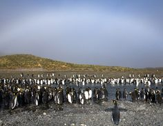 white rainbow over penguins - Looks to me like they're organizing