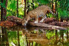 El Jaguar, el Ser mas temido y prominenete en la Mitologia Maya y Azteca, se encuentra casi en peligro de daparecer de las selvas Americanas.