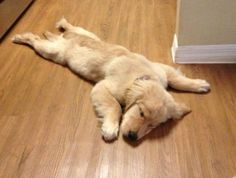Too much fetch. Must sleep. | Community Post: 60 Times Golden Retrievers Were So Adorable You Wanted To Cry