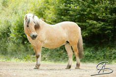 Little fat Fjord horse.