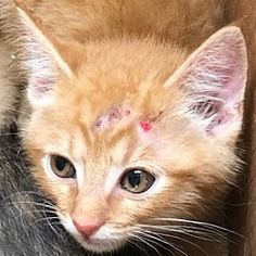 Pictures of Spongy a Domestic Shorthair for adoption in Bastrop, TX who needs a loving home. Bastrop Texas, Kittens, Cats, Pet Adoption, Safari, This Is Us, Meet, Pictures, Animals