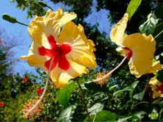 Yellow hibiscus in Negril, Jamaica   A SpotShot from the SpotNegril app