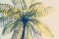 Native New Zealand Ponga or Punga Fern; Abstract Photos, Soft Colors, Image Now, Ferns, Cactus Plants, New Zealand, Nativity, Filter, Royalty Free Stock Photos