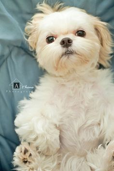 Teddy-bear-like Shih Tzu.