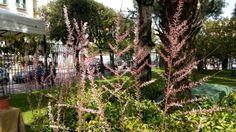 Tamarix - catina rosie - plantare, ingrijire, inmultire, boli si daunatori