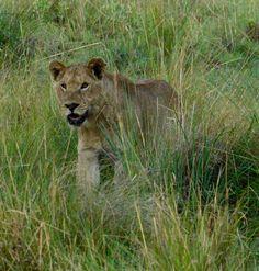 nierest to......... Lion, Animals, Animales, Animaux, Leo, Lions, Animal, Animais