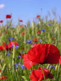 blawaty i maki -kwiaty polne - beautiful polish country side flowers