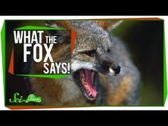 What does the fox *actually* say? Audio recordings of real fox sounds explain that viral song | 22 Words