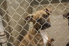 **ODESSA URGENT**Boxer mix female less than 4 months old  Kennel A10 Available 7-22-2014 ****$35 to adopt  Located at Odessa, Texas Animal Control. 432-368-3527