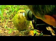"Rare Kakapo Parrot meets BBC Two filming crew & falls in love.... ""Look! He's so0ooOoooo happy!!!"" Horndog bird."