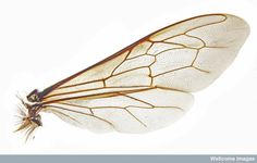 Honeybee wing -   Photomicrograph of a honeybee wing. The honeybee has two sets of thin, membranous wings that are strengthened by a network of veins. Both sets of wings flap and twist to propel the bee during flight.