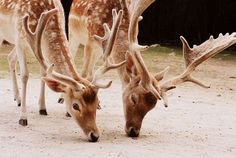 Formosan Sika Deer. #LIFECommunity #Favorites From Pin Board #15