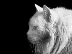 black and white cat portraits - Yahoo Image Search Results Crazy Cat Lady, Crazy Cats, Tumblr, White Cats, Cats And Kittens, Cat Lovers, Lion, Creatures, Black And White