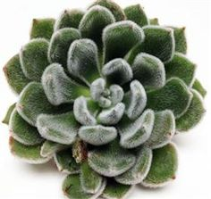 Echeveria Green Velvet Mayesh Wholesale Florists - Search our Flower Library