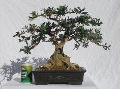 olive bonsai   Wild Olive Bonsai